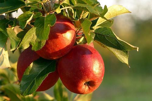 Mele rosse sull'albero